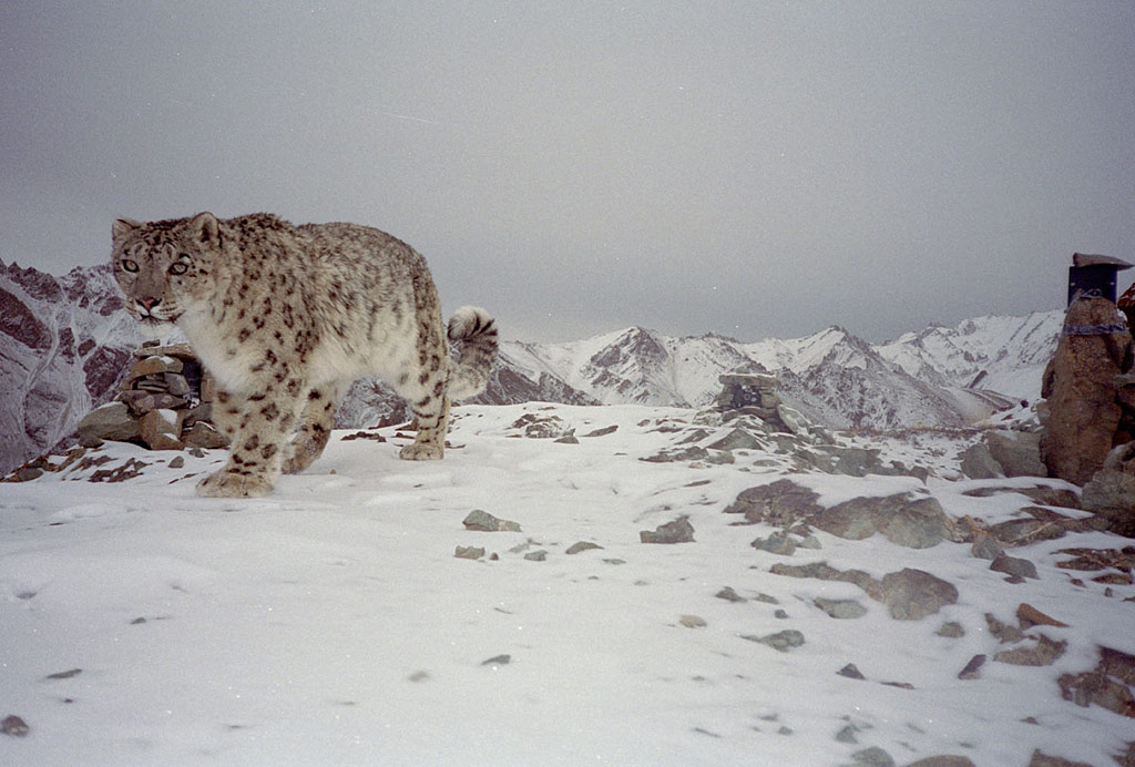 conservation of the snow leopard 2 essay